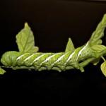 Caterpillar pic Linda