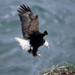 American Bald Eagle pic