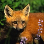 http://www.dreamstime.com/stock-image-red-fox-pup-wildflowers-image12245781