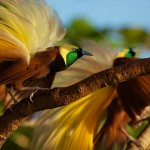 Aru Islands, Indonesia: Greater Bird of Paradise